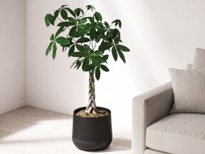 Pachira-Money Tree in Iron Planter