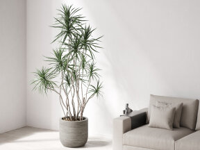 Dracena Marginata in Ridged Grey Planter