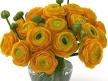 Orange Ranunculus 3