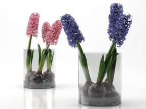 Pink&Purple Hyacinth Bulbs in Glass Cylinder