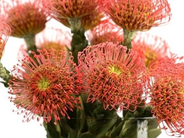Pincushion Protea 2