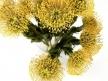 Pincushion Protea 3