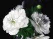 White Peonies 7