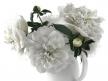 White Peonies 9