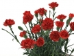 Carnations 01 3