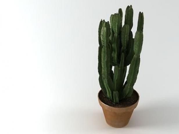 Euphorbia 3