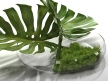 Philodendron Dianthus Vessel 7