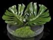 Philodendron Dianthus Vessel 11