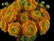 Orange Ranunculus 8