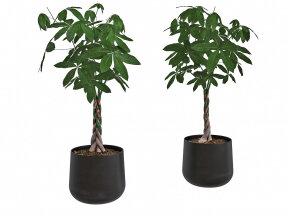 Pachira-Money Tree in Iron Planter