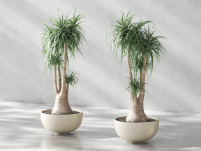 Beaucarnea - Elephant's Foot in Oval Low Planter