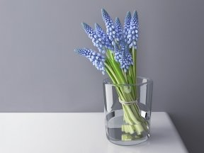 Muscari Bunch in Glass Vase