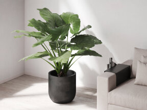 Elephant Ear Plant in Black Planter