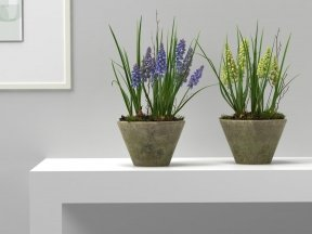 Muscari in Terracotta Pots